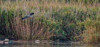 飞行在河的灰色苍鹭 库存图片