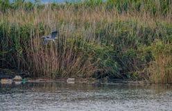 飞行在河的灰色苍鹭 库存照片