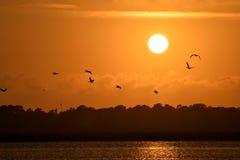 飞行在河的鹈鹕在日落 图库摄影