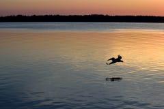 飞行在河的鹈鹕 免版税库存图片