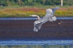 飞行在沼泽的伟大蓝色的苍鹭的巢 免版税库存图片