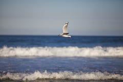 飞行在波浪的海鸥 图库摄影