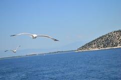 飞行在海上的两只鸟海鸥 图库摄影