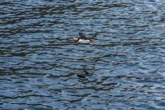 飞行在海洋的海鹦 免版税库存图片
