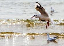 飞行在海滩的海鸥 免版税库存图片