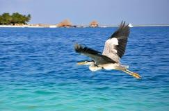 飞行在海的伟大蓝色的苍鹭的巢 免版税库存照片