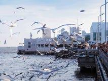 飞行在海的旅游哺养的海鸥 图库摄影