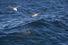飞行在海的海鸥在开普敦 免版税库存照片