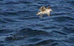 飞行在海的海鸥在开普敦 免版税库存图片