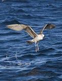 飞行在海的海鸥在开普敦 图库摄影