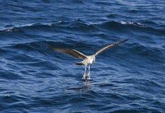 飞行在海的海鸥在开普敦 库存图片