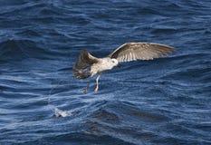 飞行在海的海鸥在开普敦 库存照片