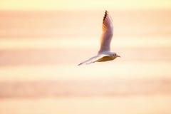 飞行在海的海鸥在日出 免版税图库摄影