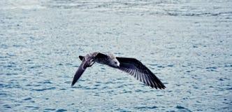 飞行在海的猎人海鸥 免版税库存图片