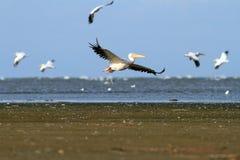 飞行在海的白色鹈鹕 库存图片