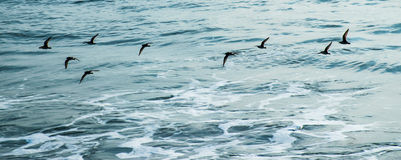 飞行在海背景中的鸟 库存图片