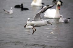 飞行在海表面的海鸥在雨中 免版税库存图片