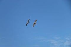 飞行在海运海鸥 免版税库存图片