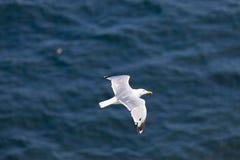 飞行在海运海鸥 库存图片
