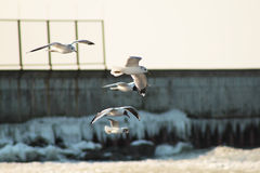 飞行在海运的海鸥 免版税库存图片