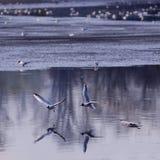飞行在海鸥水 库存图片