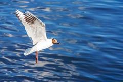 飞行在海鸥水 免版税库存照片