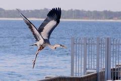 飞行在海洋的伟大蓝色的苍鹭的巢 库存照片