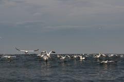 飞行在海洋表面的Gannets 库存图片