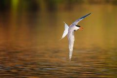 飞行在温暖的色的水的共同的燕鸥 免版税库存照片