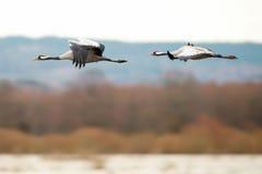 飞行在湖的两只起重机鸟 免版税库存图片