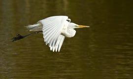 飞行在湖的伟大的白色白鹭 免版税库存图片
