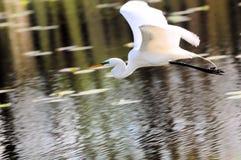 飞行在湖的极大的白鹭 免版税库存图片