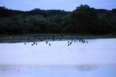 飞行在湖的鸟群在日出期间 图库摄影