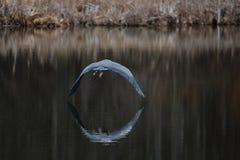 飞行在湖的鸟 免版税库存图片