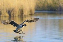 飞行在湖,黑雁canadensis的加拿大鹅 免版税库存照片
