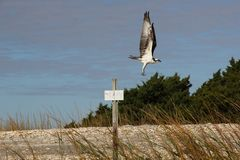 飞行在牡蛎滩的白鹭的羽毛在查尔斯顿南卡罗来纳 免版税库存照片