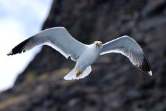 飞行在特内里费岛的海鸥鸟 免版税库存图片