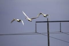 飞行在电定向塔的美洲天鹅 库存图片