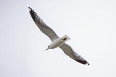 飞行在白色天空背景的一只海鸥 免版税库存图片