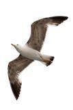 飞行在白色背景的一只海鸥 免版税库存照片