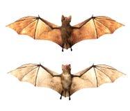 飞行在白色背景隔绝的吸血蝙蝠 库存图片