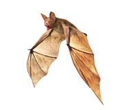 飞行在白色背景隔绝的吸血蝙蝠 免版税库存图片