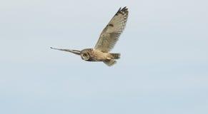 飞行在的一短耳朵的猫头鹰澳大利亚安全情报组织flammeus在食物的奥克尼,苏格兰停泊狩猎 图库摄影
