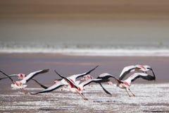 飞行在盐水湖,玻利维亚的小组火鸟 免版税库存照片