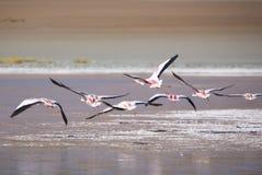 飞行在盐水湖,玻利维亚的小组火鸟 免版税库存图片