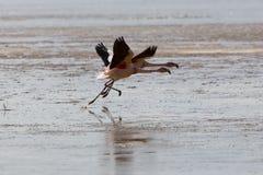飞行在盐水湖,玻利维亚的小组火鸟 库存图片