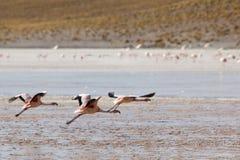 飞行在盐水湖,玻利维亚的小组火鸟 库存照片