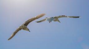 飞行在笼子的一只蓝色SkyA鹦鹉的两只海鸥 免版税库存照片