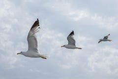 飞行在线的三只海鸥 免版税图库摄影