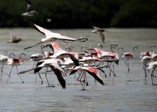 飞行在群,巴林的美丽的伟大的火鸟 免版税库存图片